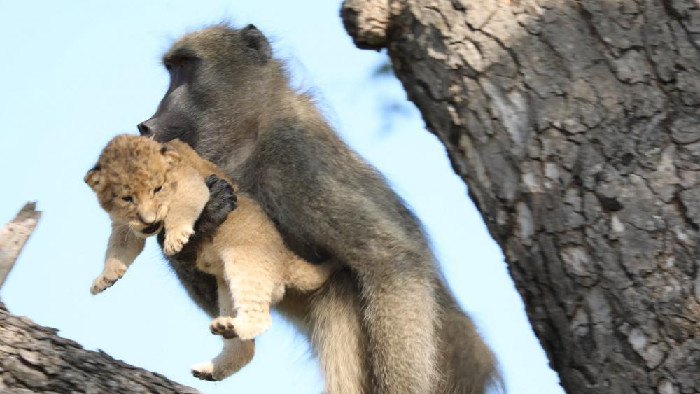 Pavian Entführt Löwenbaby