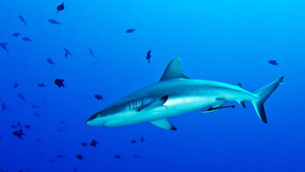 Hai Attacke Australien