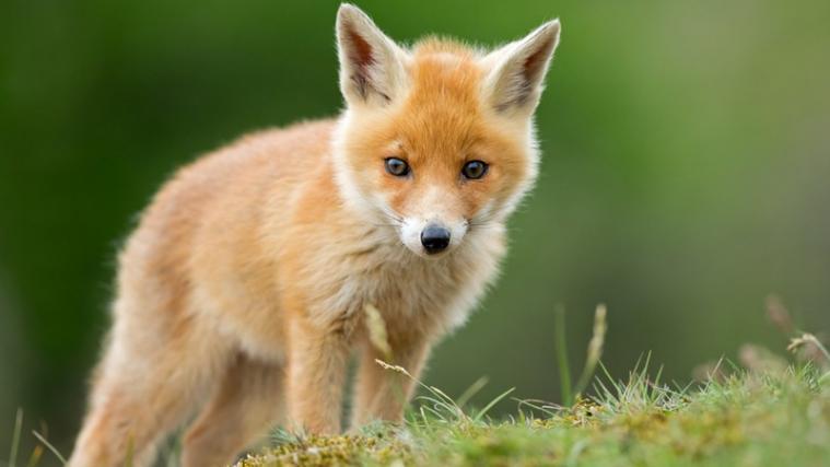 Fuchs Baby